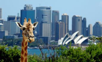 giraffe in front of sydney harbour bridge